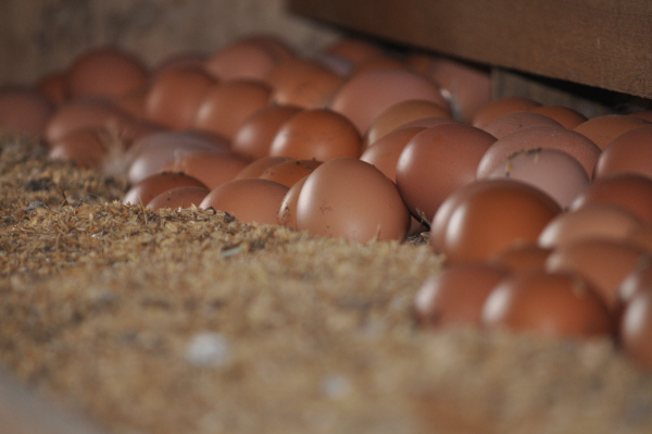 계란.jpg